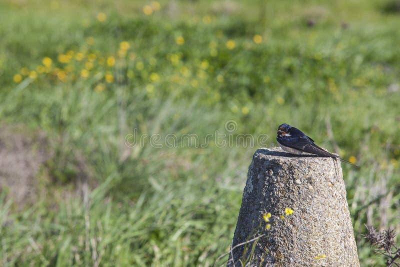 Engula o descanso após a migração com as primeiras flores fi da primavera foto de stock royalty free