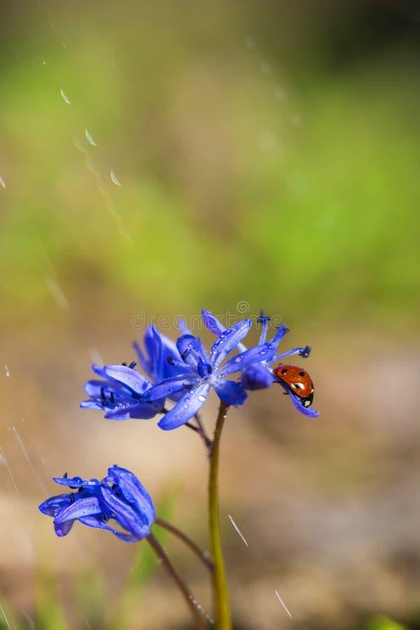 Enig Lieveheersbeestje op violette bellflowers in de lente royalty-vrije stock afbeelding