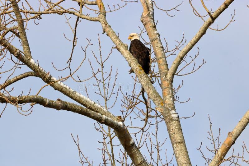 Enig Volwassen Eagle in de Winterboom royalty-vrije stock afbeeldingen