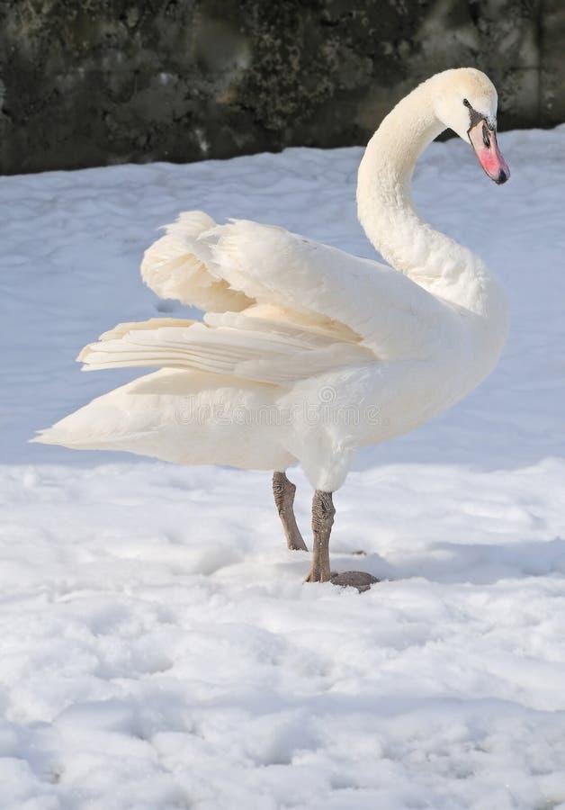 Enig zwaanverblijf op sneeuw stock foto's