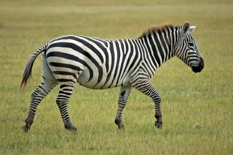 Enige Afrikaanse zebra royalty-vrije stock foto