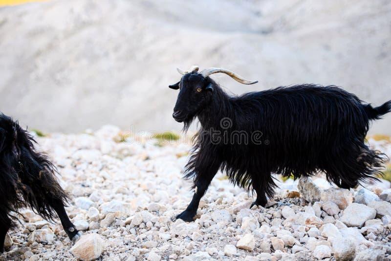Enige berggeit die zich op de bovenkant van Tahtali-Berg, Turkije bevinden stock fotografie