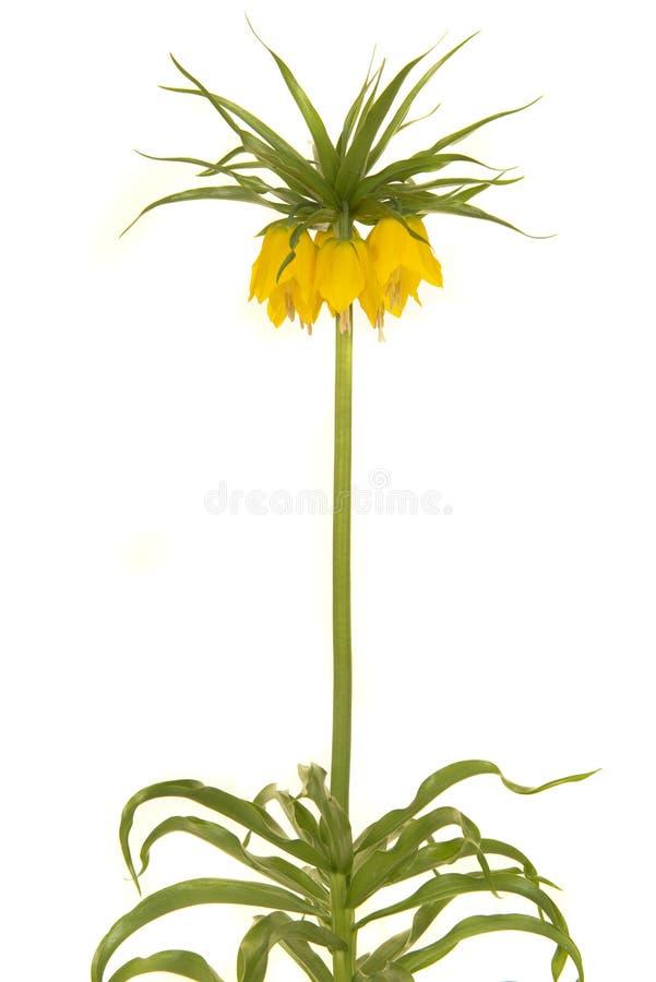 Enige bloeiende gele kroon keizerbloemen op een witte backgro stock afbeeldingen