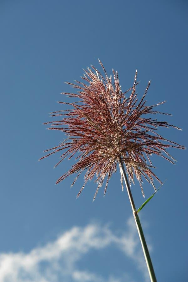 Enige bloem van suikerriet stock foto