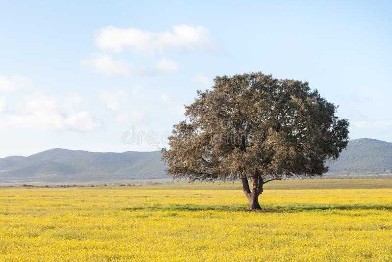 Enige boom op een gebied Extremadura regio royalty-vrije stock foto