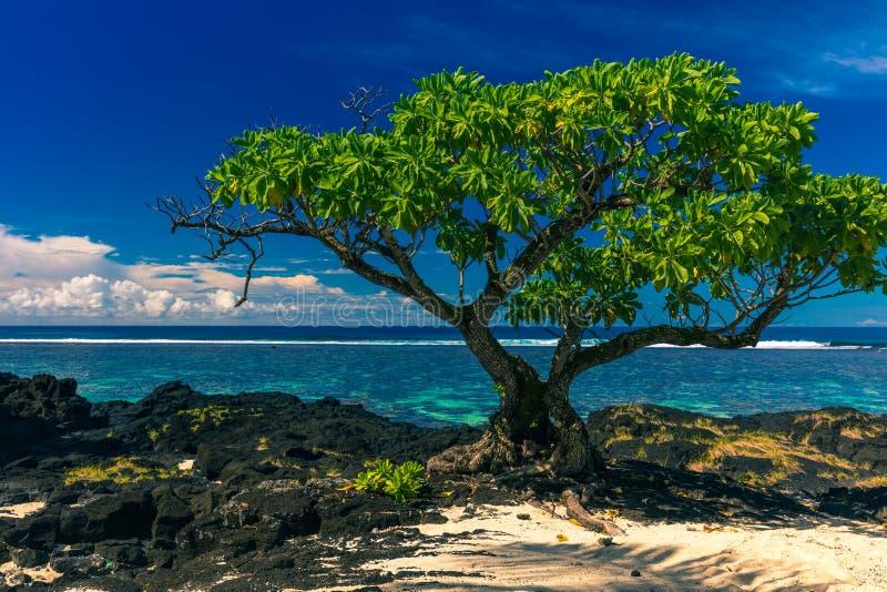 Enige boom op een strand met zwarte lavarotsen op Upolu, Samoa stock foto