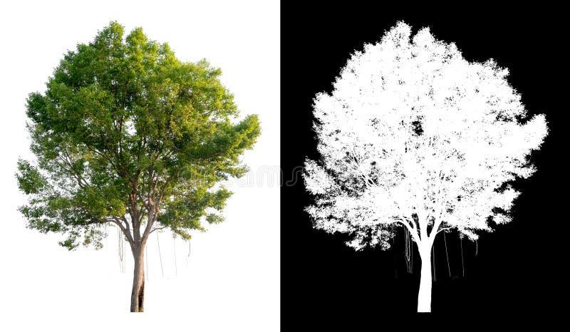 Enige boom op transparante beeldachtergrond met het knippen van weg, enige boom met het knippen van weg en alfakanaal op zwarte royalty-vrije stock afbeeldingen