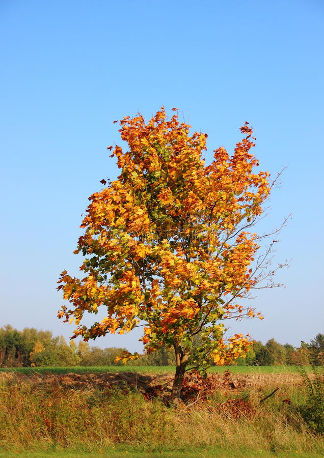 Enige de herfstboom op heuvelbovenkant met verse kleur royalty-vrije stock foto's