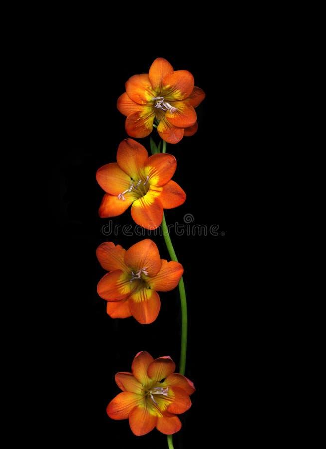Enige die wildflower op zwarte achtergrond wordt geïsoleerd stock fotografie