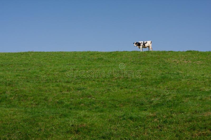 Enige eenzame melkkoe stock foto