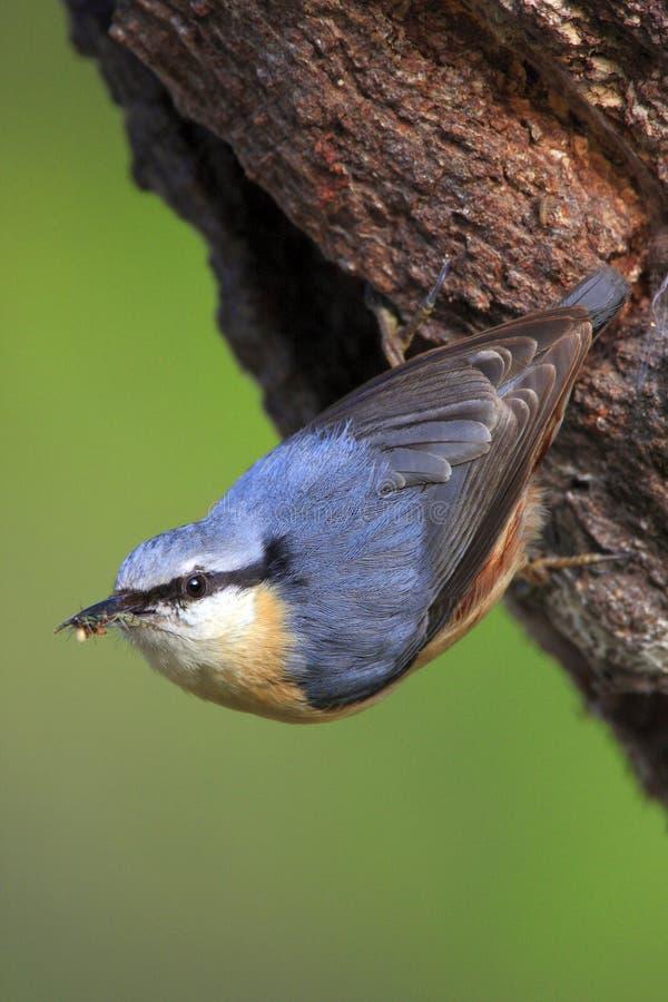 Enige Europees-Aziatische Nuthatch vogel op boomboomstam stock afbeeldingen