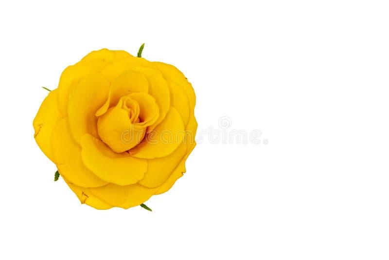 Enige geel nam bloem met groene die bladeren toe, op witte achtergrond worden geïsoleerd, hoogste mening royalty-vrije stock foto's