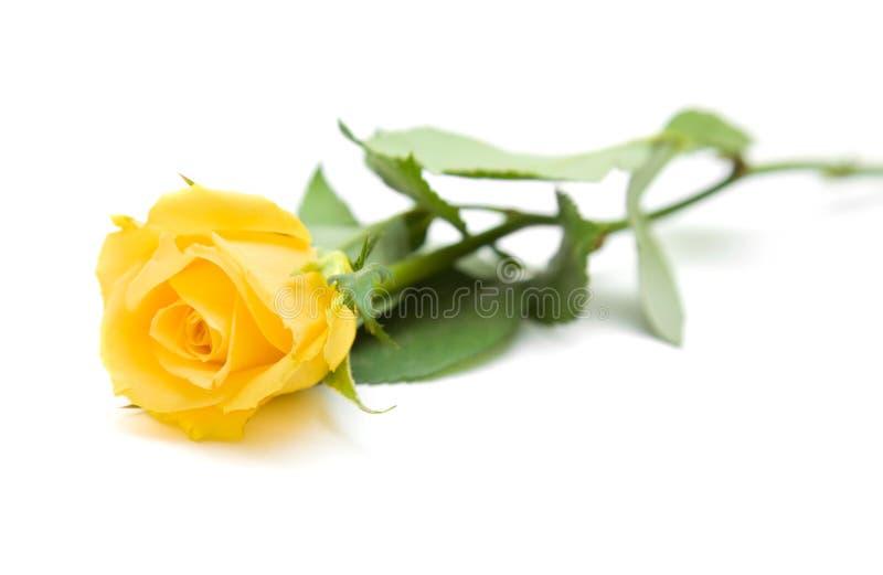 Enige geel nam toe royalty-vrije stock afbeelding