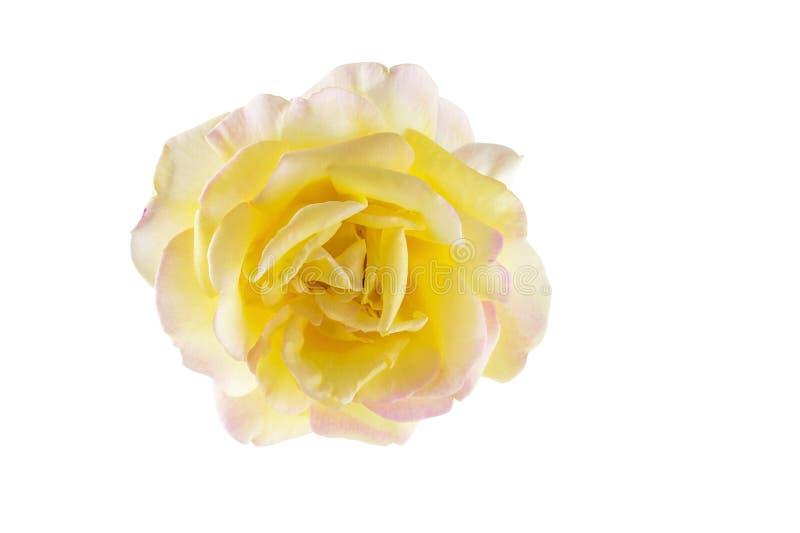 Enige gele die roze nam bloemhoofd op witte achtergrond wordt geïsoleerd toe stock afbeeldingen