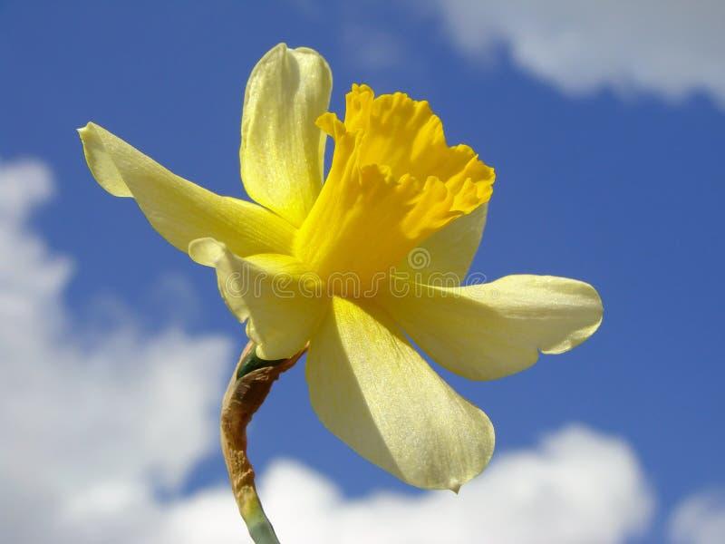 Enige gele narcis royalty-vrije stock afbeelding