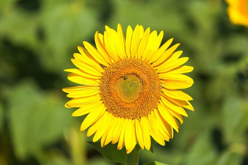 Enige gele zonnebloem stock fotografie