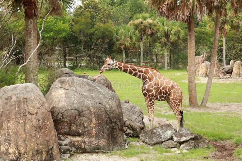 Enige giraffee die dichtbij rotsen rusten stock afbeeldingen