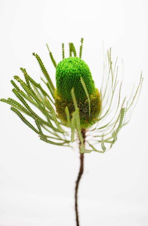 Enige groene banksiabloem royalty-vrije stock foto's