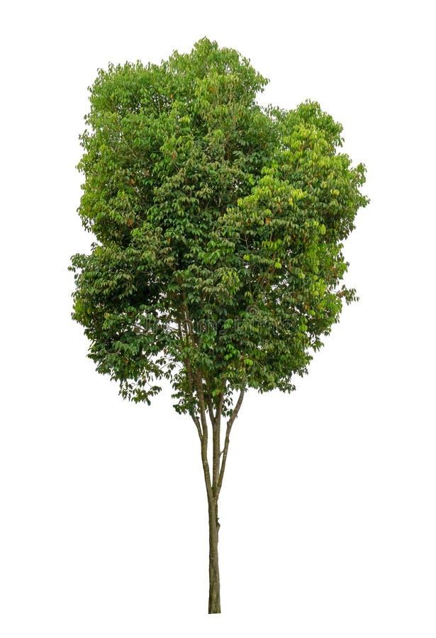 Enige groene ge?soleerde boom, een altijdgroene die matrijs van de bladereninstallatie op witte achtergrond met het knippen van w stock afbeeldingen
