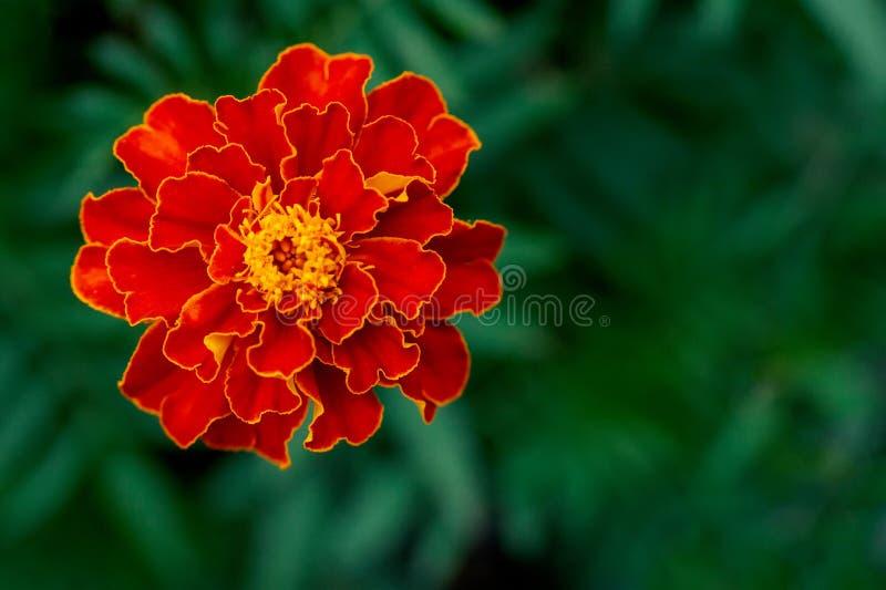 Enige grote goudsbloembloem in tuin, hoogste mening stock fotografie