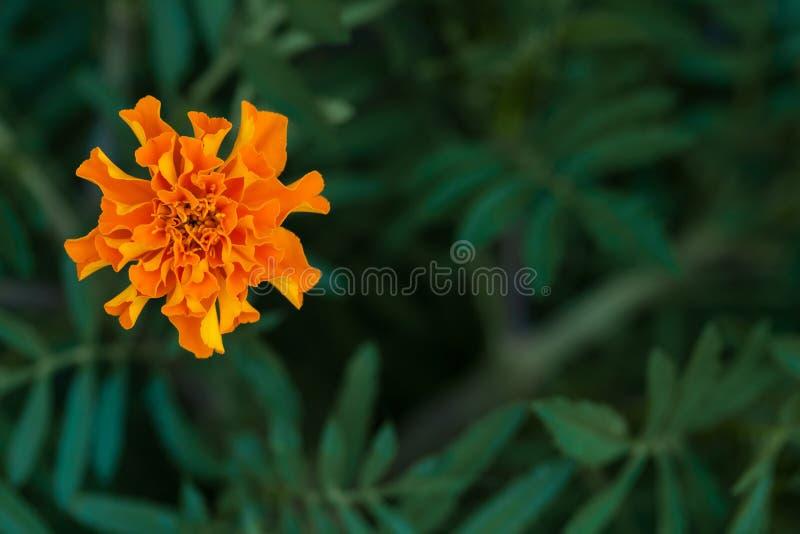 Enige grote goudsbloembloem in tuin, hoogste mening royalty-vrije stock foto's