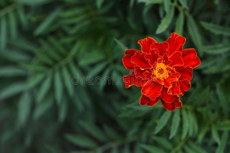 Enige grote goudsbloembloem in tuin, hoogste mening stock foto
