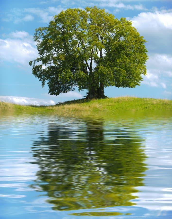 Enige grote oude beukboom stock foto