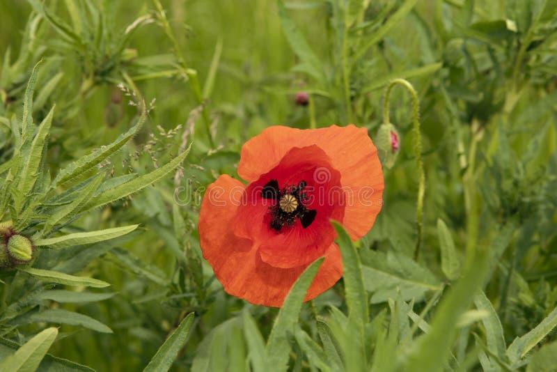 Enige grote rode die papaverbloem op verse groene achtergrond wordt geopend Gras en weide wildflower stock foto
