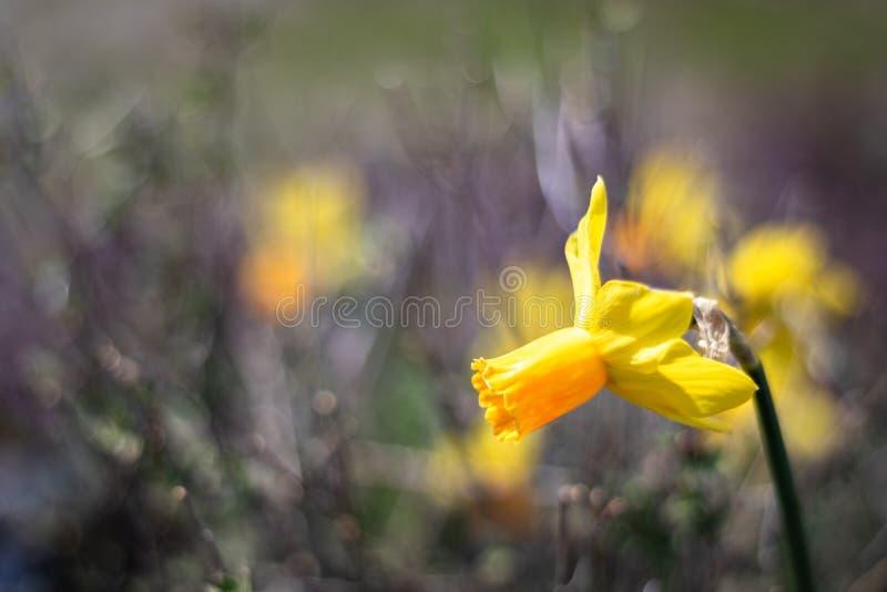 Enige heldere, gelukkige, vrolijke, gele gouden en oranje speciale unieke de gele narcisbol die van de lentepasen in buitentuin b stock fotografie