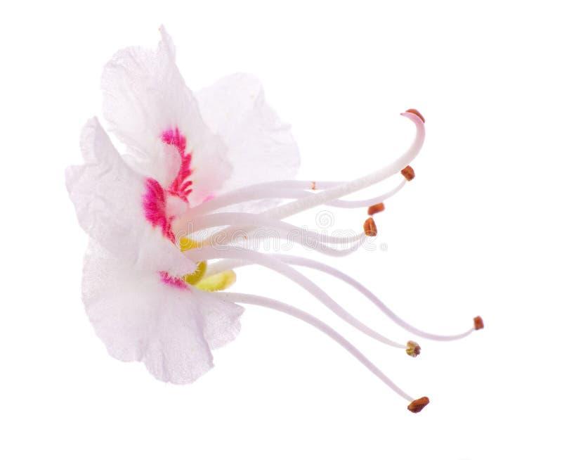 Enige kastanje rode en witte bloem stock afbeelding