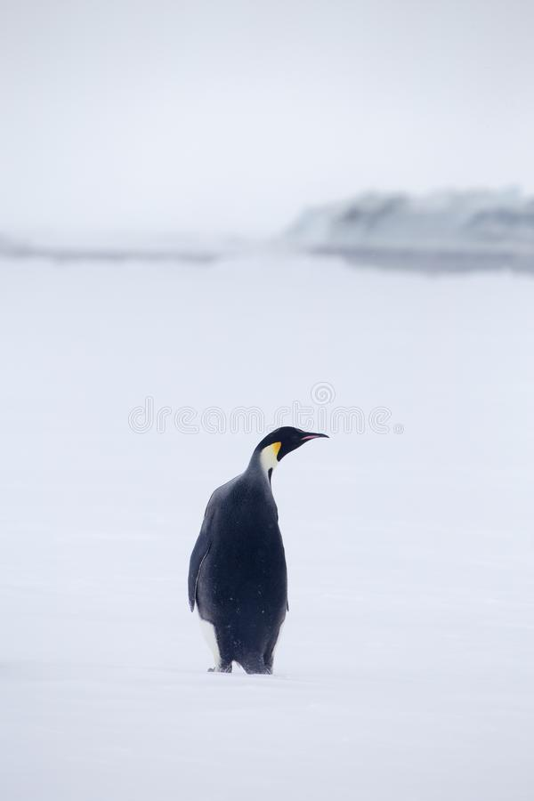 Enige Keizerpinguïn in het Weddell-overzees stock foto's