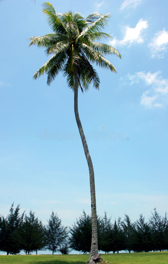 Enige kokospalm stock afbeelding