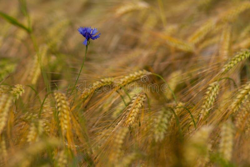 Enige korenbloem onder rijp graangewas op gebied stock fotografie
