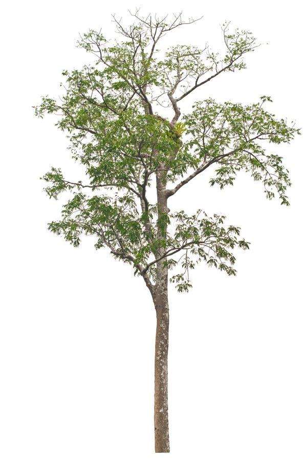 Enige lange en mooie boom. stock afbeelding
