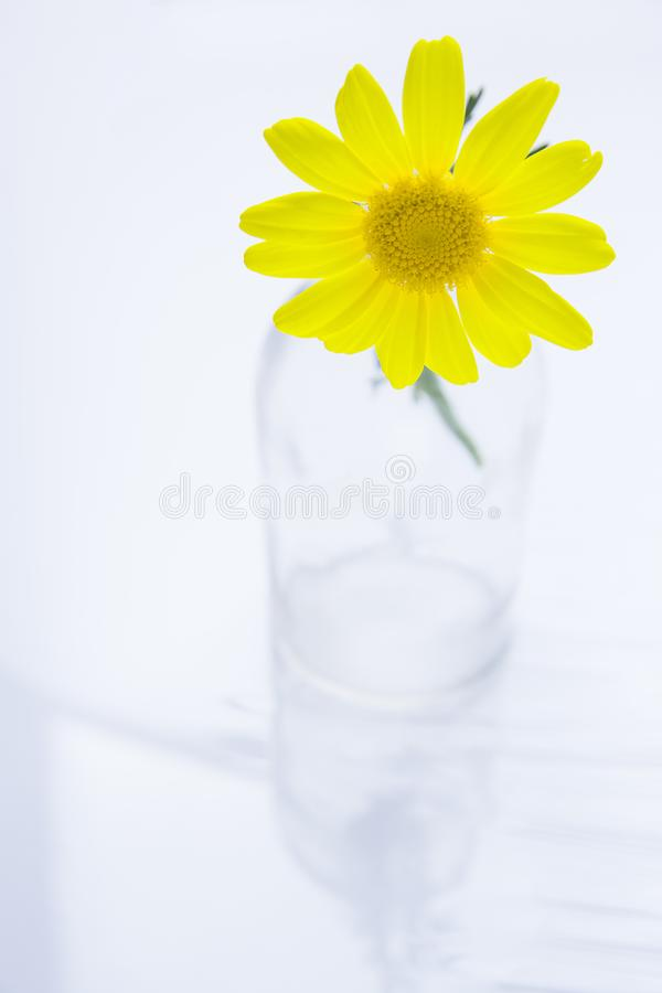 Enige Mooie Gele Daisy in Glasfles op Witte Achtergrond Backlit door Zacht Zonlicht Pasen-de Verjaardag van de Moedersdag stock afbeelding