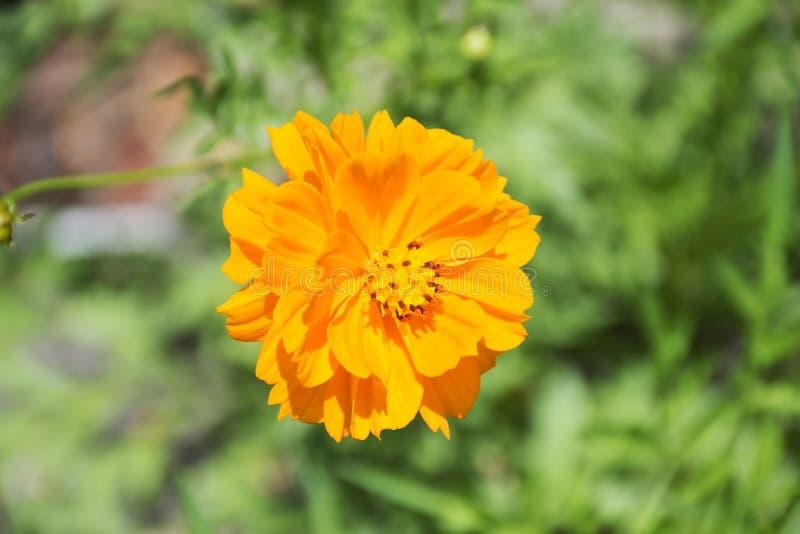Enige oranje bloem royalty-vrije stock fotografie