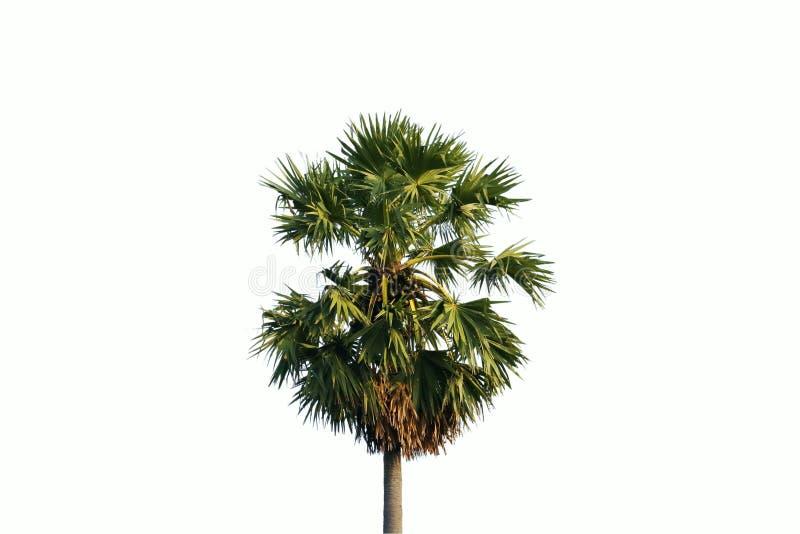 Enige palm die op witte achtergrond wordt geïsoleerd? stock afbeelding