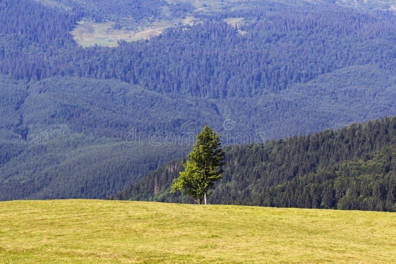 Enige pijnboomboom in bergen op horizon, alpien landschap royalty-vrije stock foto