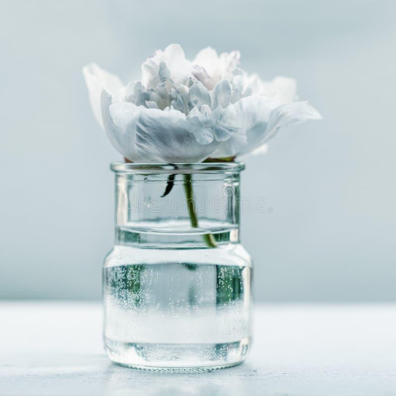 Enige pioenbloem stock afbeelding