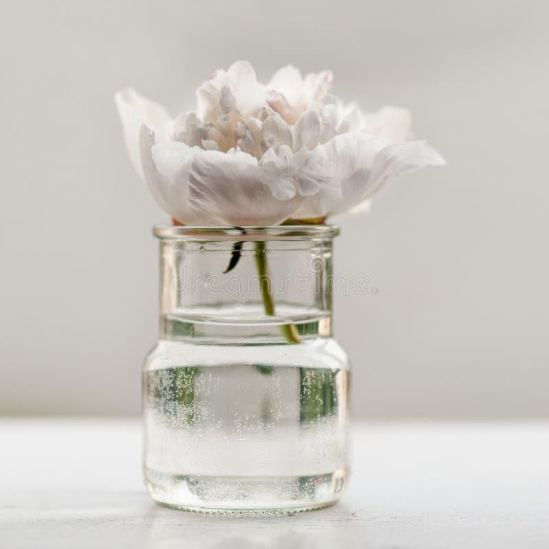 Enige pioenbloem stock fotografie