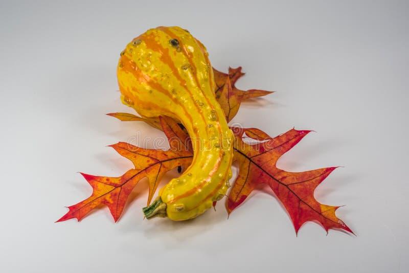 Enige pompoen op eiken bladeren stock afbeeldingen