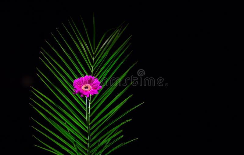 Enige Purpere Gerbera met Fern Leaf - donkere achtergrond royalty-vrije stock foto