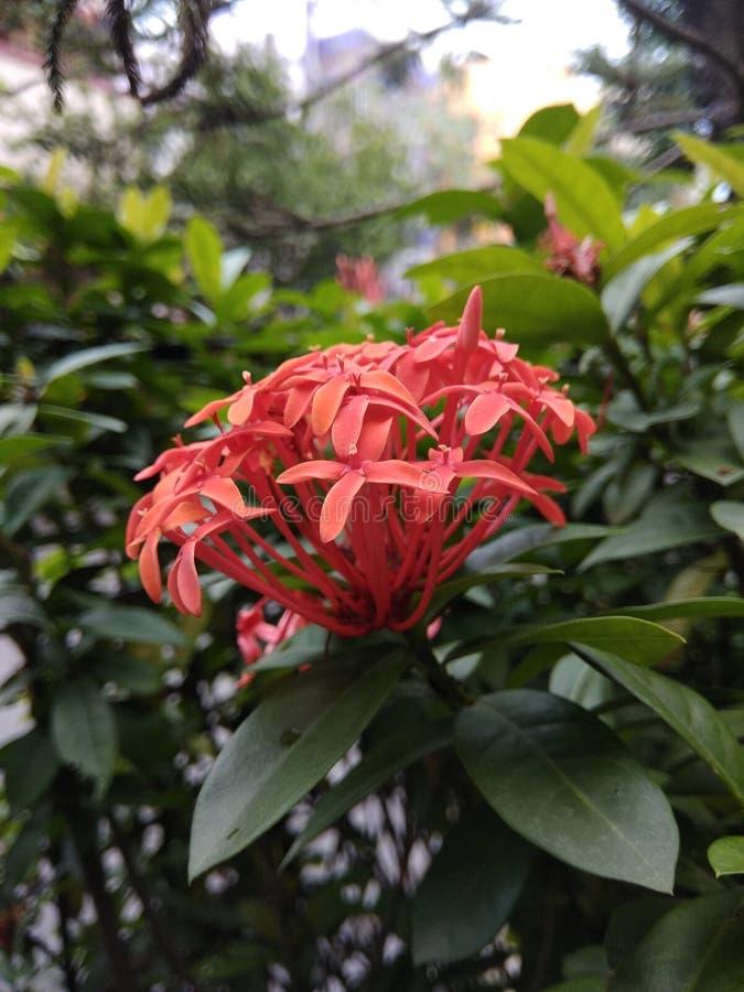 Enige rode bloem stock afbeelding