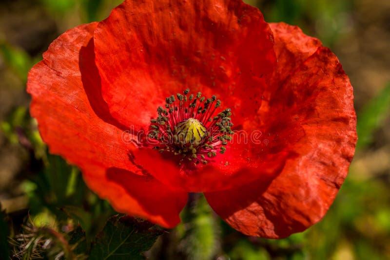 Enige rode ge?soleerde papaverbloem royalty-vrije stock foto