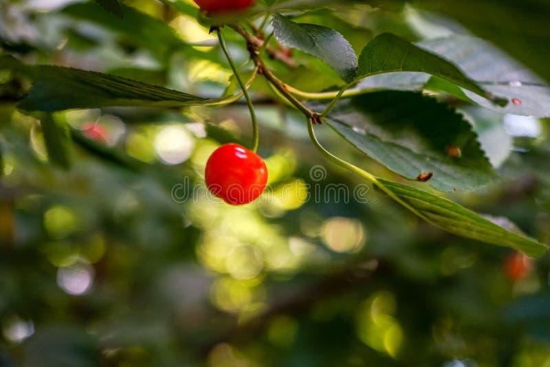 Enige rode kers op een tak, kersenboom royalty-vrije stock foto's