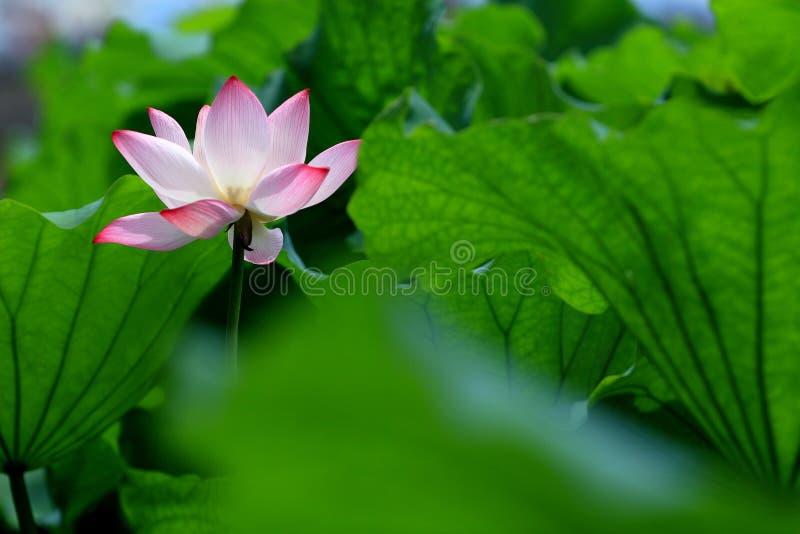 Enige rode lotusbloembloem met groene bladeren royalty-vrije stock afbeeldingen
