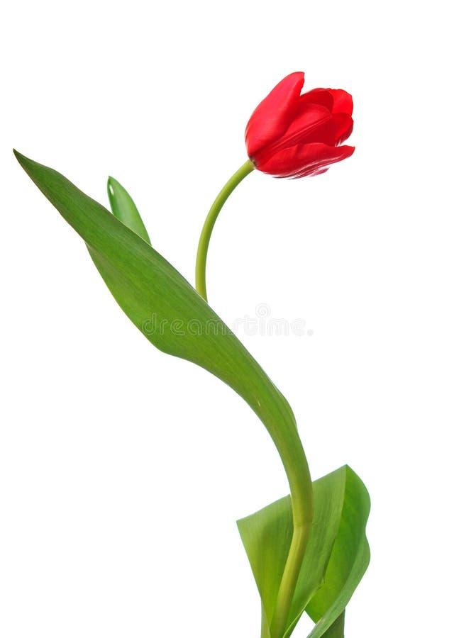 Download Enige rode tulp stock foto. Afbeelding bestaande uit naughty - 29511146
