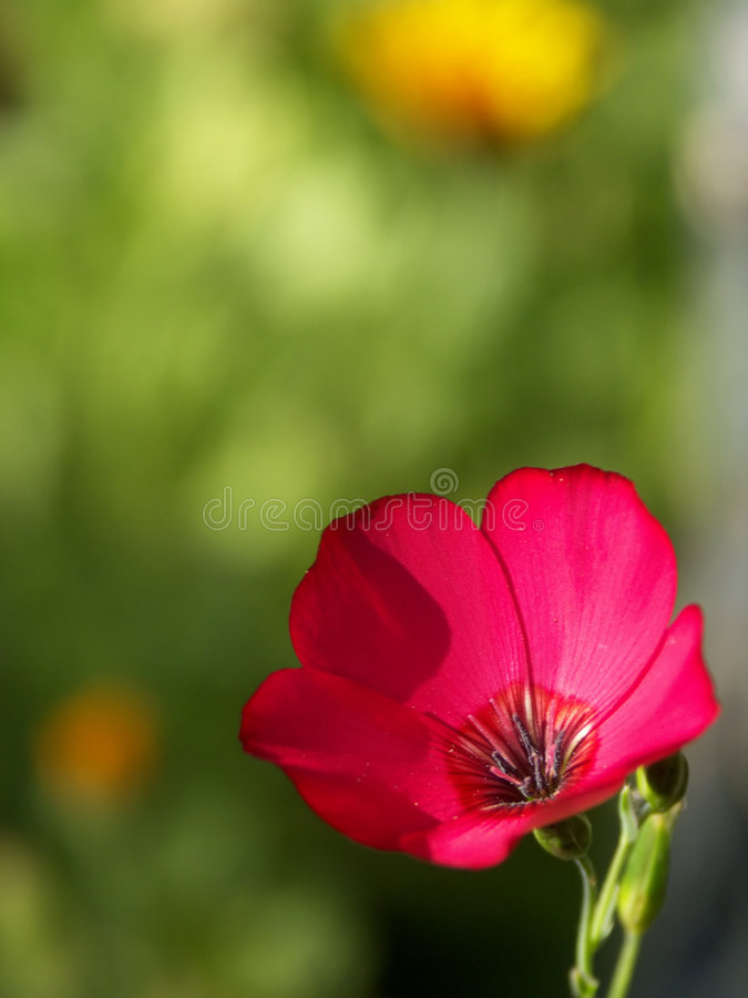 Enige Rode Wildflower op Gebied - de Macro van de Bloem stock fotografie