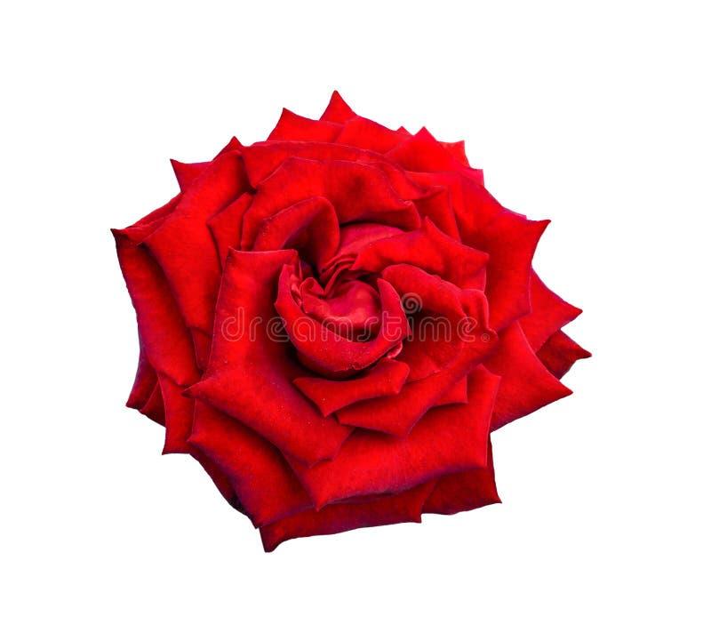 Enige rood nam bloem dichte omhooggaand toe, geïsoleerd op een witte achtergrond stock foto's