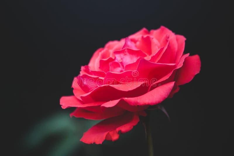 Enige rood nam bloem toe royalty-vrije stock afbeeldingen